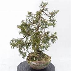 E Bonsai Outdoor Bonsai Chinesische Wacholder