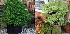 Pittosporum Planter Cultiver Et Tailler Nos Conseils