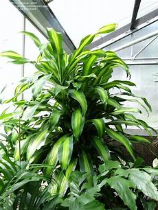 Plantfiles Pictures Dracaena Tree Corn Plant