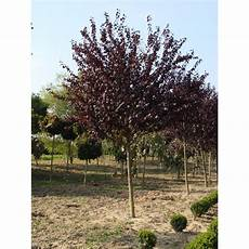 blutpflaumenbaum kaufen granitplatte terrasse