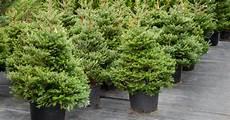 weihnachtsbaum im topf pflegen mein sch 246 ner garten