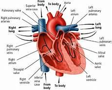 Jantung Pengertian Fungsi Daya Kerja Letak Ukurannya