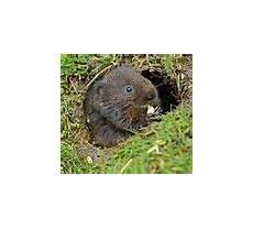 graben marder löcher im garten category arvicola terrestris wikimedia commons