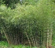 bambou non invasif fargesia robusta pingwu