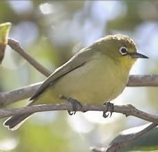 Bird Gambar Burung Pleci