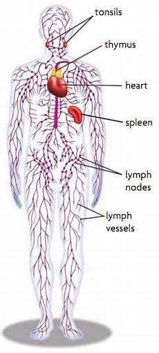 Lembah Semut Sistem Limfatik Pada Manusia