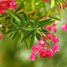 Oleander Draussen überwintern - oleander 252 berwintern pflegen gie 223 en schneiden