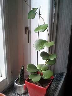plante hoya kerrii petit cœur devient grand le hoya kerrii le pouvoir des