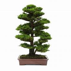 bonsai cryptomeria 85 cm acheter bonsai collection en