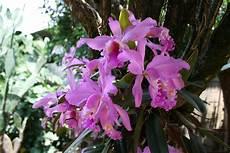 dibujo de la flor nacional de venezuela flor nacional de venezuela wikipedia la enciclopedia libre