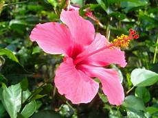 Gambar Dan Jenis Bunga Kembang Sepatu Bisakali Net