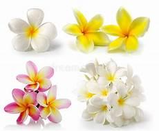 fiore frangipane fiore frangipane su fondo bianco fotografia stock