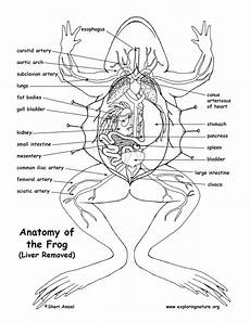 frog anatomy diagram labeled frog anatomy the liver