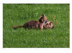une martre peut tuer un chat prot 233 ger ses poules des pr 233 dateurs