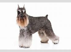 Miniature Schnauzer Dog Breed Information