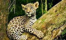 Jaguar El Gran Felino Emblem 225 Tico De Las Culturas