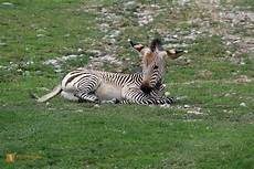 zebra bild zebra wildlife media die naturbildagentur