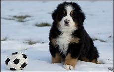 guide to buying a bernese mountain puppy