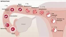 Zervixschleim Nach Einnistung - interaktive grafik zur befruchtung