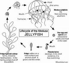 hydra life cycle jellyfish and hydra life cycles pinterest life cycles cycling and jellyfish