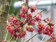 Welcome To February With Parrotia Persica The