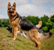 breeds originating in germany