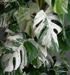monstera deliciosa variegata panaschiertes fensterblatt