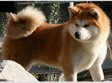 10 Things You Didn?t Know about the Akita Inu