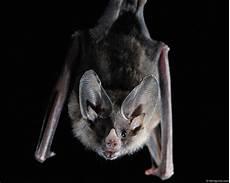 Wallpaper Bats