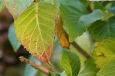 hortensien blätter werden braun hortensien 252 berwintern so sieht die beste pflege im