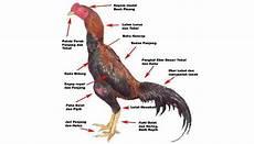 Tips Membedakan Ayam Bangkok F1 Asli Dan Palsu Hasil Kawin