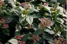 arbuste feuillage persistant tailler les arbustes la terre est un jardin