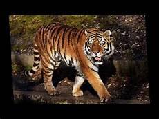 Gambar Gambar Harimau