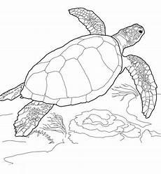 Kostenlose Malvorlagen Turtles Meeresschildkroeten Ausmalbilder Ausmalbilder