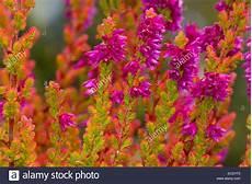 calluna vulgaris sorten common or calluna vulgaris firefly