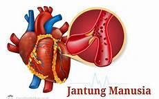 Gambar Organ Jantung Manusia Beserta Keterangan Dan