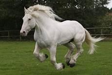 Tamme Hanken Pferd - martouf el sahra tamme hanken percheron pferde