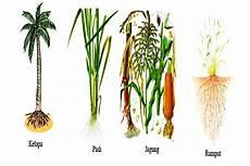 Pengertian Fungsi Dan Jenis Akar Pada Tumbuhan Terbaru