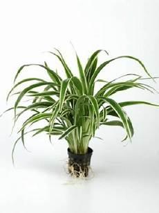 Chlorophytum Bichetii Gr 252 Nlilie Oder Zebragras Im Topf