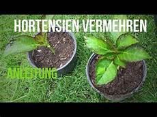 hortensien mit stecklingen vermehren