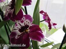 wie pflegt orchideen wie pflege ich orchideen gartenmoni altes wissen bewahren