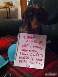 dog hair in wifes panties stories 15 hilarious photos that prove dogs are underwear stealing jerks