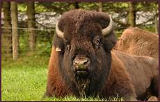 bison fute quot bison fut 233 quot photo et image animaux animaux sauvages nature images fotocommunity