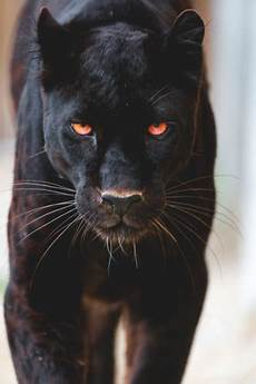 Gambar Wallpaper Hewan Harimau Kucing Besar Cambang Macan