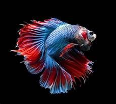 Daun Ketapang Untuk Budidaya Ikan Cupang