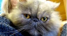 gatti persiani gatti persiani in adozione a roma minou e lilli