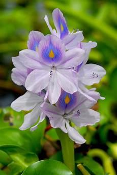 flor de bora del estado lara flor de bora belleza de la flora de apure venezuela llanos flores ex 243 ticas venezuela