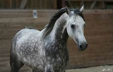 cavallo pomellato what breed could she be the forum