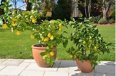 albero di limoni in vaso how to grow citrus in pots myproductivebackyard