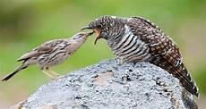 Burung Kedasih Si Ratu Tega Dan Mitos Suaranya Yang